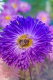 Chiuda su dell'aster blu del fiore Priorità bassa blu del fiore Fotografia Stock Libera da Diritti