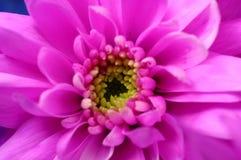 Chiuda su dell'aster rosa Immagini Stock