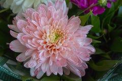 Chiuda su dell'aster rosa del fiore immagine stock