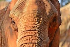 Chiuda su dell'elefante africano Fotografia Stock Libera da Diritti