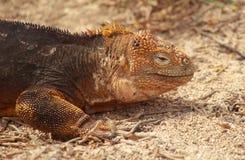 Chiuda in su dell'iguana dello sbarco del Galapagos Immagini Stock