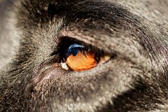Chiuda su dell'occhio dei cani neri immagine stock