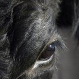 Chiuda su dell'occhio della mucca immagine stock libera da diritti