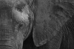 Chiuda su dell'occhio e dell'orecchio dell'elefante Immagini Stock Libere da Diritti
