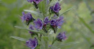 Chiuda su dell'odissea CRUDA 7Q del fiore FS700 4K del Blueweed video d archivio