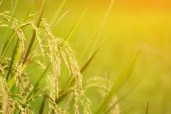 Chiuda su dell'orecchio di riso Immagini Stock Libere da Diritti