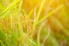 Chiuda su dell'orecchio di riso Immagine Stock