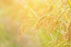 Chiuda su dell'orecchio di riso Immagini Stock