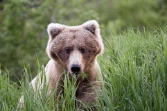 Chiuda in su dell'orso di Brown che mangia l'erba Immagine Stock