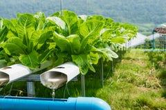 Chiuda su dell'orticoltura idroponica nella serra Immagine Stock