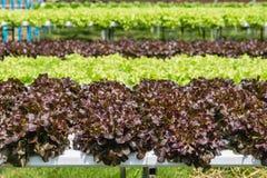Chiuda su dell'orticoltura idroponica nella serra Fotografia Stock Libera da Diritti