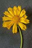 Chiuda su dell'oscillazione del fiore giallo Fotografie Stock