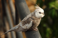 Chiuda su dell'uccello del Cockatiel Fotografia Stock Libera da Diritti