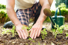 Chiuda su dell'uomo che pianta le piantine in terra su assegnazione Immagini Stock Libere da Diritti
