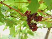 Chiuda su dell'uva Fotografia Stock Libera da Diritti
