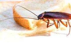 Chiuda su della blatta su una fetta di pane, blatta che mangia il pane integrale sul fondo bianco del fondo immagini stock libere da diritti