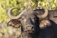 Chiuda in su della Buffalo africana Fotografia Stock Libera da Diritti