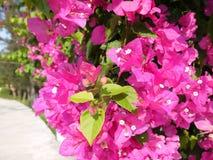 Chiuda su della buganvillea magenta di fioritura fotografie stock