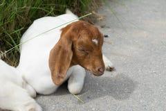 Chiuda su della capra fotografie stock