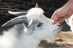 Chiuda su della capra all'azienda agricola Immagine Stock Libera da Diritti