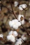 Chiuda su della capsula del cotone sulla pianta Fotografia Stock Libera da Diritti