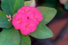 Chiuda su della corona rosa dei fiori delle spine Fotografie Stock
