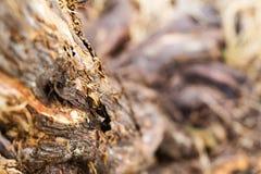Chiuda su della corteccia di albero con l'angolazione di ripresa verso le radici dell'albero Fotografie Stock
