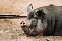 Chiuda su della famiglia un grande maiale nero in azienda agricola La suinicoltura sta alzandosi Immagini Stock