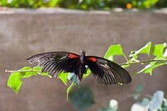 Chiuda su della farfalla Fotografia Stock