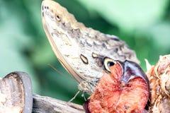 Chiuda su della farfalla che mangia la frutta Fotografie Stock Libere da Diritti