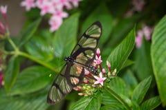 Chiuda su della farfalla di Glasswing, oto di Greta immagini stock