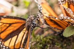 Chiuda su della farfalla di monarca coperta polline Fotografia Stock Libera da Diritti
