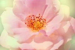 Chiuda su della fioritura della rosa di bianco con lo stame ed i pollini Fotografie Stock