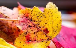 Chiuda su della foglia arancio di autunno Immagini Stock