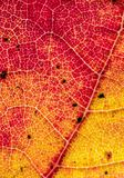 Chiuda su della foglia arancio di autunno Fotografia Stock Libera da Diritti