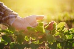 Chiuda su della foglia d'esame della pianta di soia della mano femminile dell'agricoltore Fotografia Stock