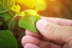 Chiuda su della foglia d'esame della pianta di soia della mano maschio dell'agricoltore Fotografia Stock