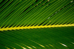 Chiuda su della foglia su una pianta della palma da sago Immagini Stock Libere da Diritti