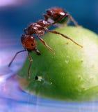 Chiuda in su della formica su una bacca fotografie stock