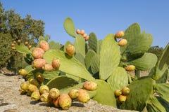Chiuda su della frutta del cactus Fotografia Stock
