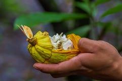 Chiuda su della frutta fresca del cacao in mani degli agricoltori Frutta organica del cacao - alimento sano Taglio di cacao crudo Fotografia Stock