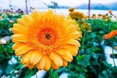 Chiuda su della gerbera gialla ed arancio Fotografia Stock