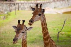 Chiuda su della giraffa Fotografia Stock