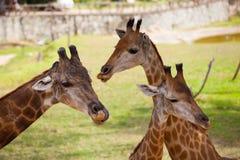 Chiuda su della giraffa Immagini Stock Libere da Diritti