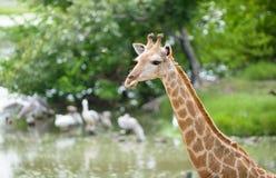 Chiuda in su della giraffa Fotografie Stock Libere da Diritti