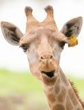 Chiuda in su della giraffa Immagini Stock