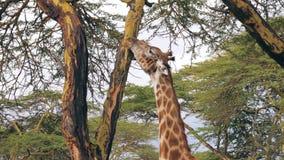 Chiuda su della giraffa africana capa mangia la corteccia di albero dell'acacia in savana archivi video