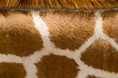 Chiuda su della giraffa che il modello fa il buon fondo dell'animale dello zoo Fotografia Stock Libera da Diritti