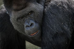 Chiuda su della gorilla Immagine Stock Libera da Diritti
