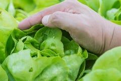 Chiuda su della lattuga crescente dell'insalata con il raccolto della mano nella verdura Fotografia Stock
